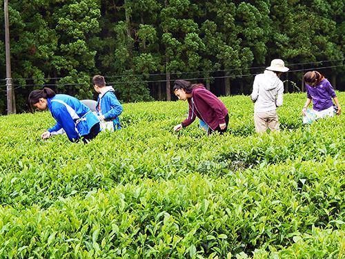 里山の茶畑でのお茶摘体験